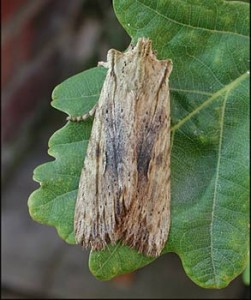 Pale Pinion moth
